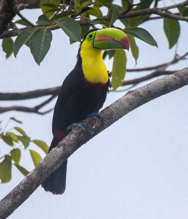 Keel-billed-Toucan • Birding, Azuero