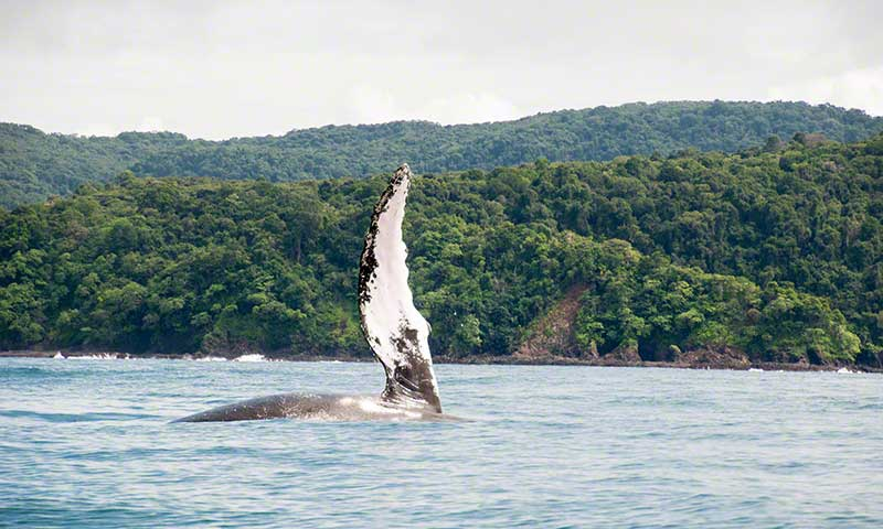 Whale Watching Azuero West Coast