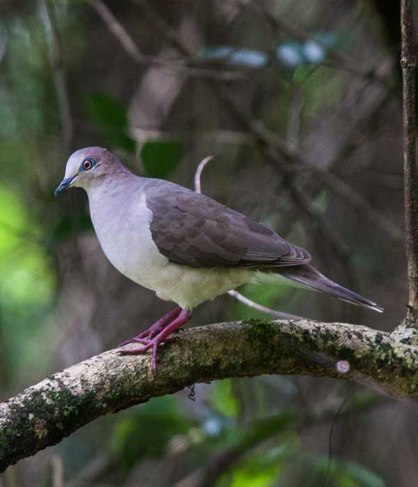 White-tipped-Dove • Birding, Azuero
