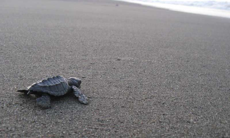 Turtle hatchlings • Playa Malena