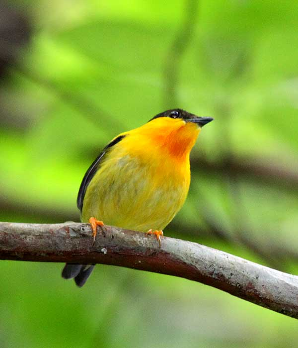 Orange-collared-Manakin • Birding, Azuero