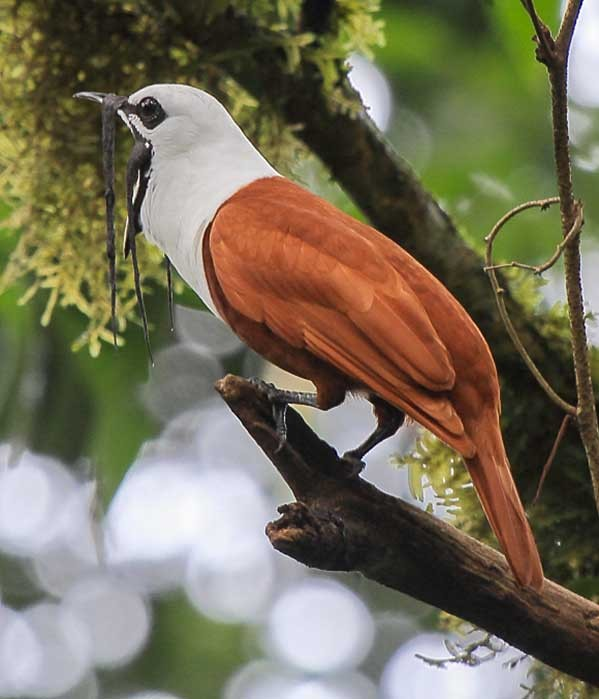 Three-wattled-bellbird • Birding, Azuero