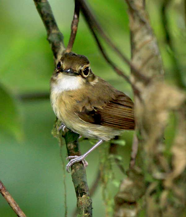 White-throated-Spadebill • Birding, Azuero