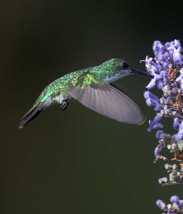 female-sapphire-throated-hummingbird • Birding, Azuero