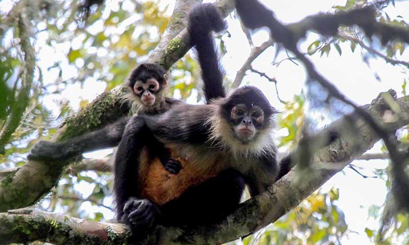 Tanager Ecotours • Cerro Hoya Spider Monkey