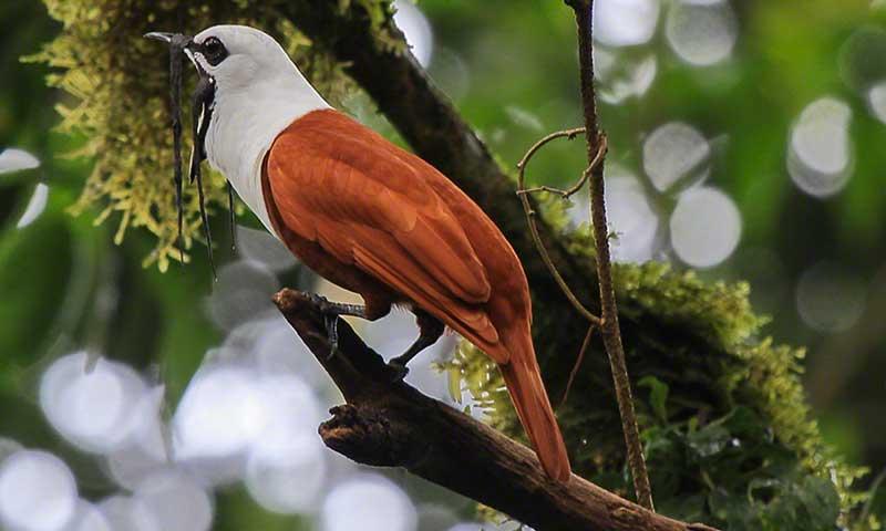 Tanager Ecotours • Cerro Hoya Three-watlled-bellbird