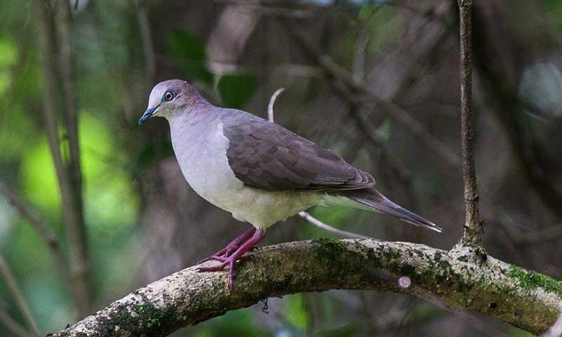 Tanager Ecotours • Cerro Hoya White-tipped-Dove