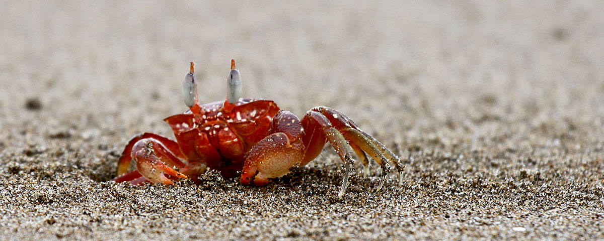 Tanager Ecotours, crab
